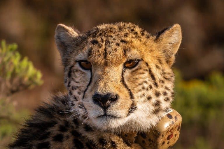 Cheetah Spirit Animal Symbolism and Dreams