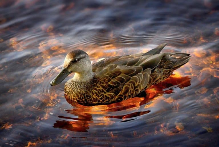 Duck Spirit Animal Symbolism and Dreams