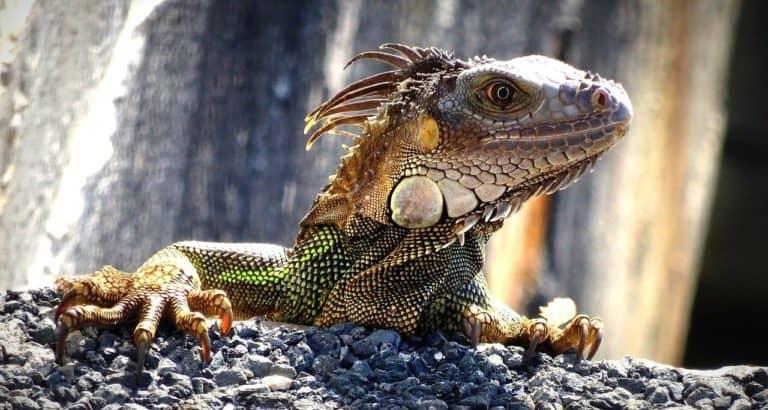 Lizard Spirit Animal Symbolism and Dreams
