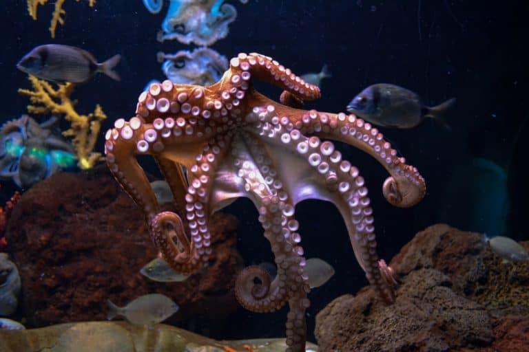 Octopus Spirit Animal Symbolism and Dreams