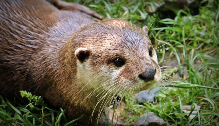 Otter Spirit Animal Symbolism and Dreams