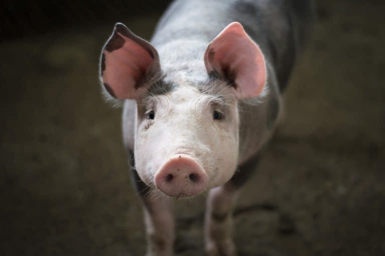 Pig Spirit Animal Symbolism