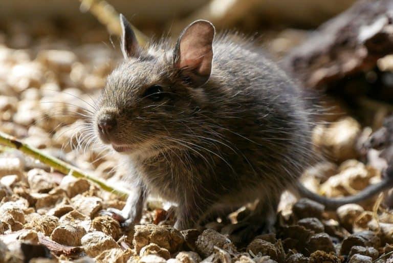 Rat Spirit Animal Symbolism and Dreams