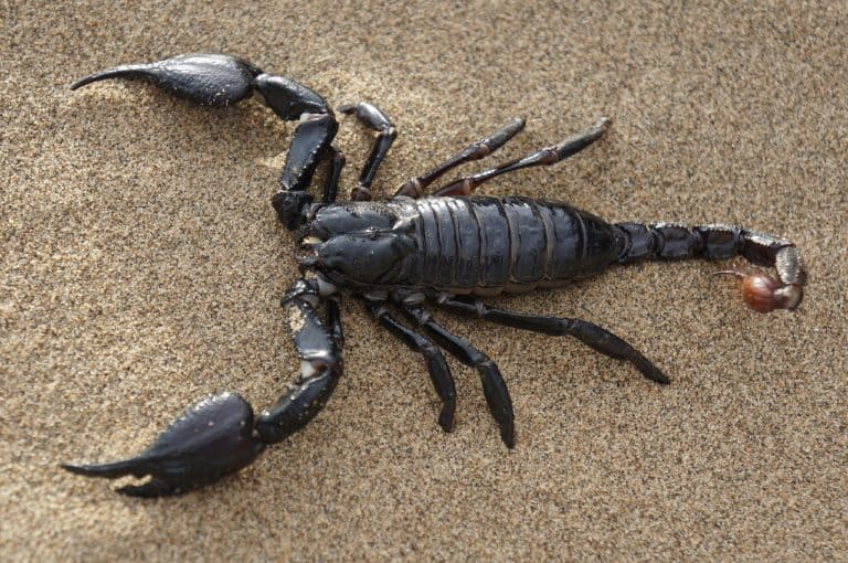 Scorpion Spirit Animal Symbolism and Dreams