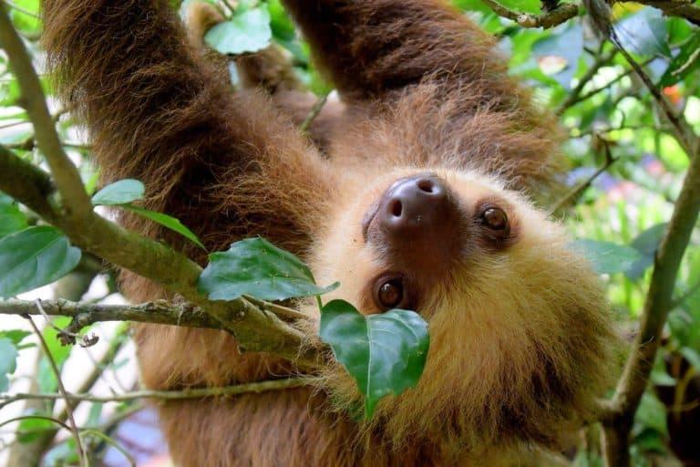 Sloth Spirit Animal Symbolism and Dreams
